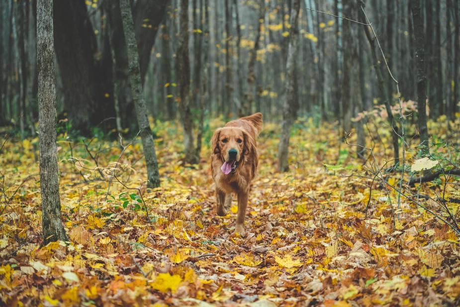 Platelet-Rich Plasma Therapy For Dogs