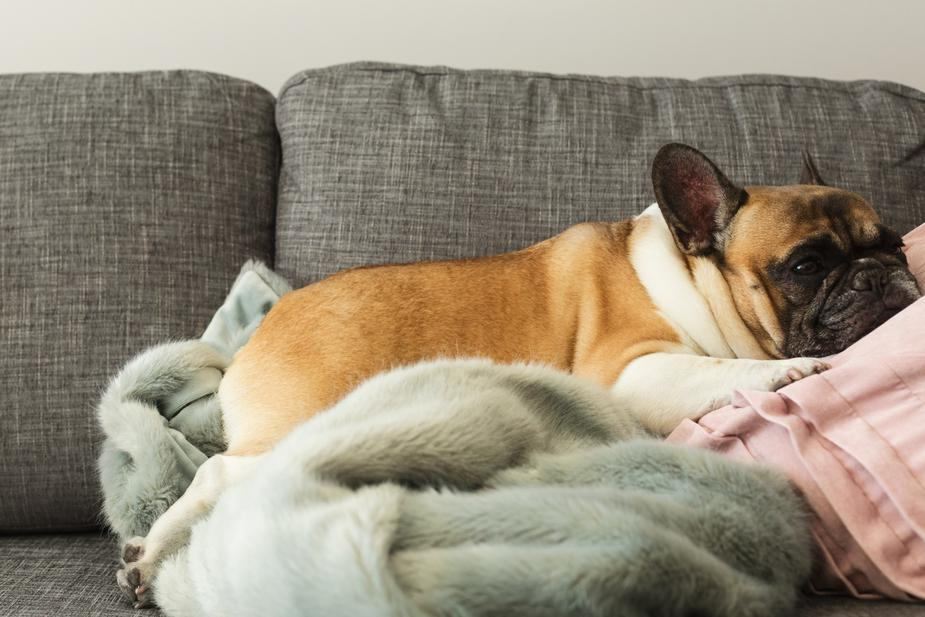 signs and symptoms of valley fever in dogs Arizona - dog lying down on couch