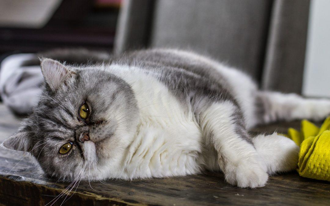 Gilbert pet hospital - cat lying down sideways