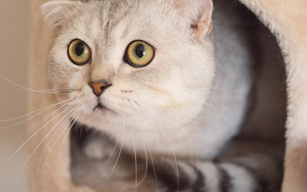 cat anxiety symptoms - cat looking scared and peeking out of her bed