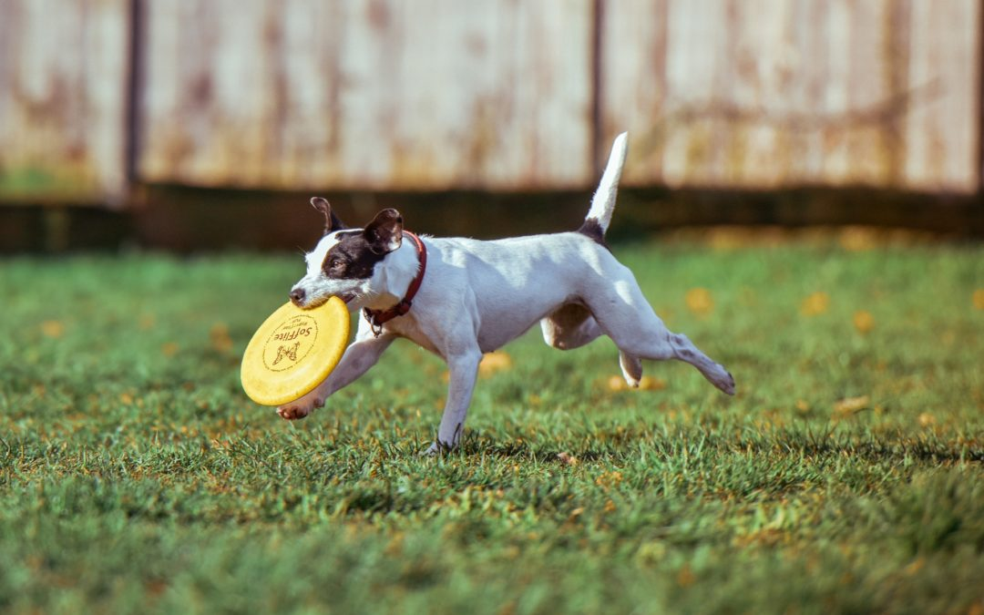 common dog health problems - small dog with yellow frisbee in mouth