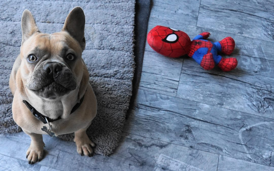 safe dog chew toys - french bull dog with Spiderman toy