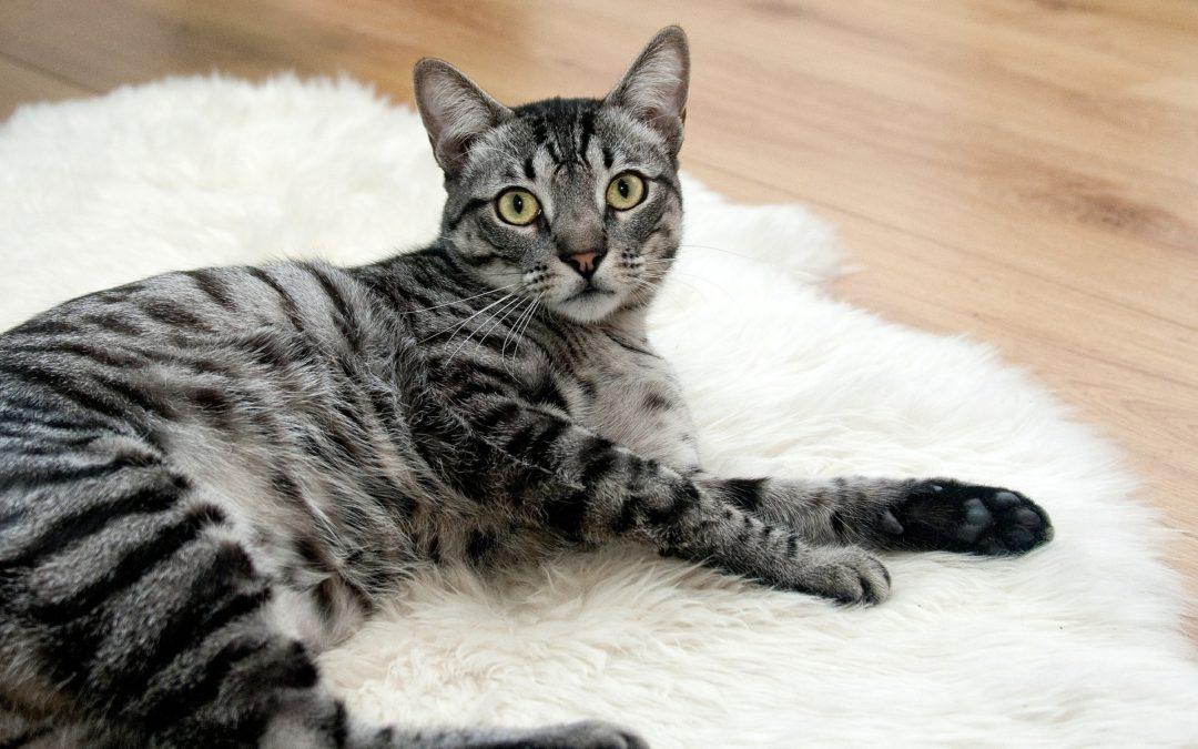 Symptoms of Diabetes in Cats