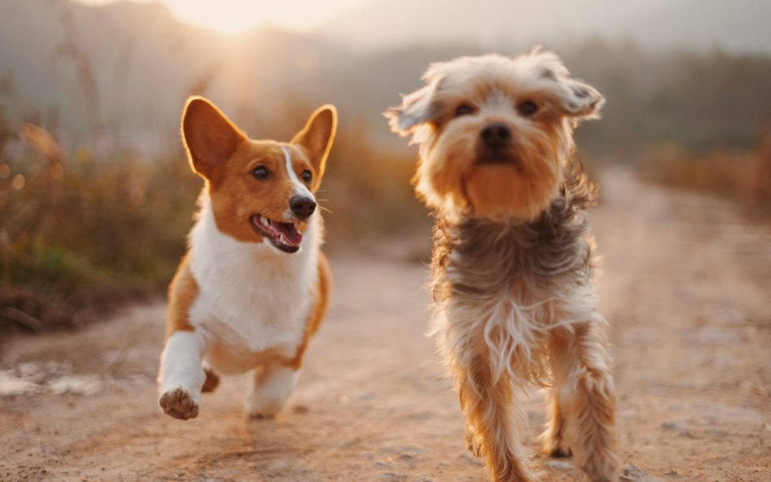 introducing dogs - two small dogs running