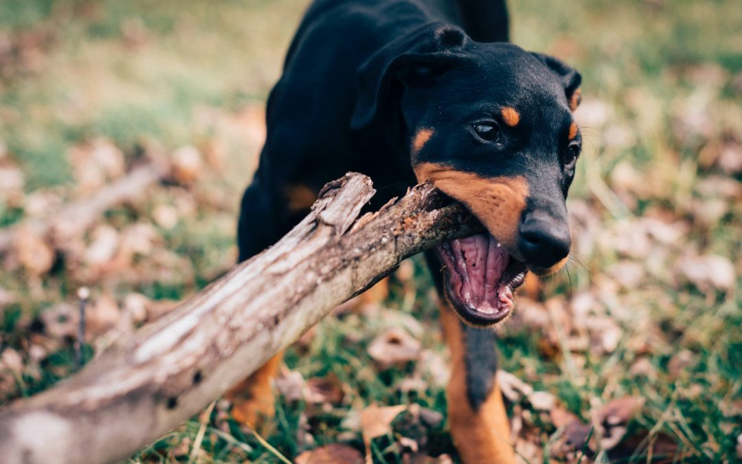 Is a Broken Dog Tooth An Emergency?