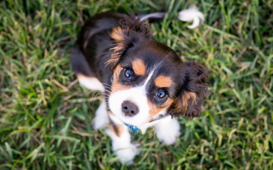 cacanine parvovirus treatment black white and brown puppy on the grass