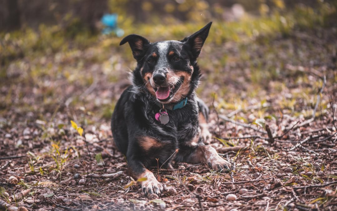 Symptoms of Leptospirosis in Dogs