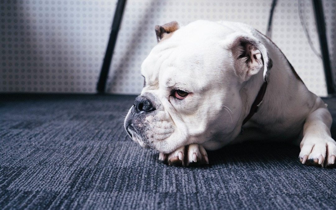 Managing Pain in Dogs with Chronic Illnesses